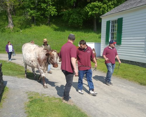 The Farmers' Museum works closely with students.  Here a group walks Gingersnap to pasture.
