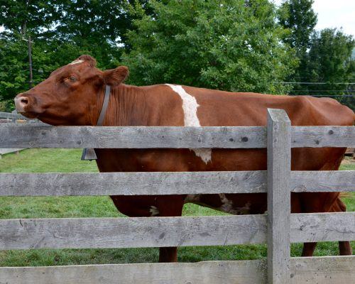 Always happy to get a nose rub, Lucy the cow often stands close to the fence waiting for visitors.