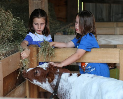 Young students pet and feed Milkweed- the newest member of the Farmers' Museum heard of cows.