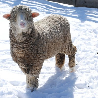 Warm wool coats keep our sheep comfortable all winter long.
