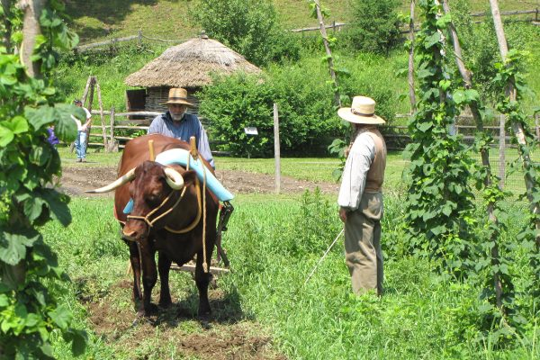 Here our farm interpreter demonstrates using one ox to pull a plow rather than the typical team of oxen.