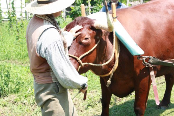 Oxen are the engines of any 1840s farm. Their strength carries burdens, plows fields and clears forests. Throughout the spring and summer our interpreters hitch our oxen for demonstrations.