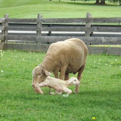 Lambs born only a short time earlier are up on their feet quickly with the help of their mothers.