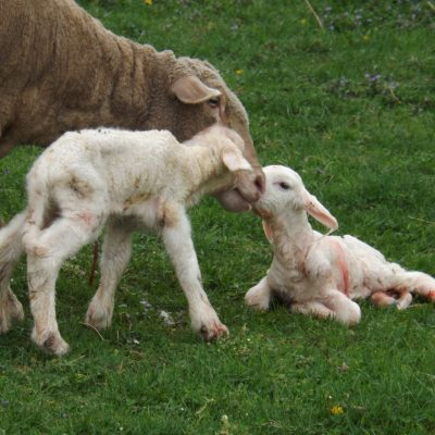 Just after birth the mother sheep works hard to lick clean her pair of lambs.